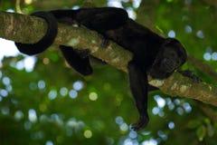 Черная обезьяна Mantled palliata Alouatta обезьяны ревуна в среду обитания природы Черная обезьяна в обезьяне черноты леса в дере Стоковые Изображения RF