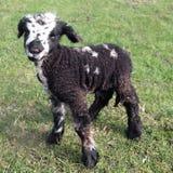 черная овечка дня старая Стоковые Изображения
