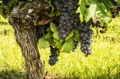 черная лоза виноградин Стоковые Изображения