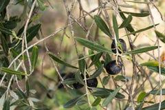 Черная оливка на дереве стоковые изображения