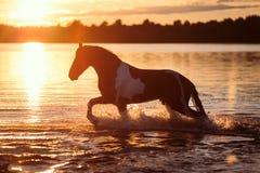 Черная лошадь бежать в воде на заходе солнца Стоковая Фотография RF