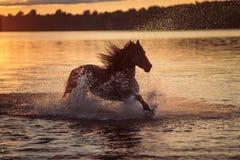 Черная лошадь бежать в воде на заходе солнца Стоковые Изображения RF