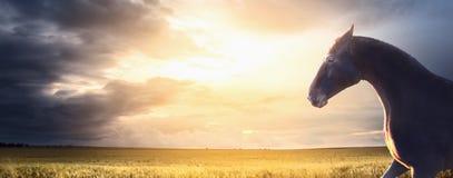 Черная лошадь бежит на поле на заходе солнца, знамени Стоковые Изображения