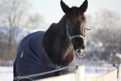 Черная лошадь в пальто зимы Стоковое Фото