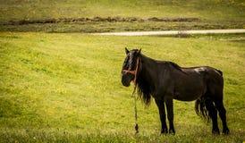 Черная лошадь в поле в Zlatibor Стоковые Изображения RF