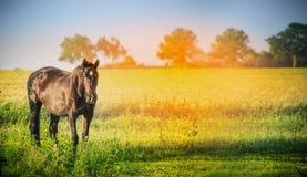 Черная лошадь на предпосылке природы лета, знамени Стоковые Фото