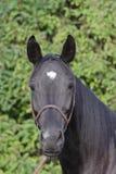 Черная лошадь смотря прямо в портрет камеры Стоковое фото RF