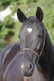 черная лошадь Стоковые Фотографии RF