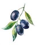 Черная оливковая ветка Стоковое Изображение RF