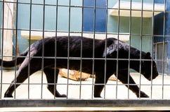 Черная пантера в клетке на зоопарке Стоковое Фото