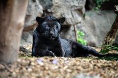 Черная пантера лежа на том основании и смотря Стоковое Фото