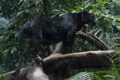 черная пантера Стоковое Изображение RF