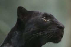 черная пантера стоковое фото