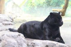 черная пантера Стоковое фото RF