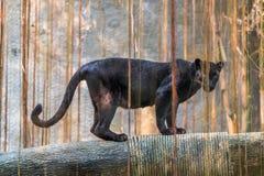 Черная пантера melanistic вариант цвета большой кошки стоковые изображения