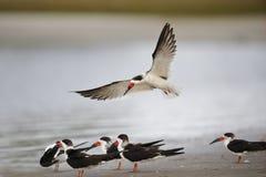 Черная посадка на пляже Мексиканского залива - Река Crystal шумовки, Стоковые Фотографии RF