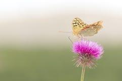 черная поставленная точки бабочка Стоковые Фото