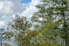 черная птица в болотах на ветви кипариса Стоковая Фотография RF