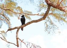 Черная птица в ветви Стоковые Изображения
