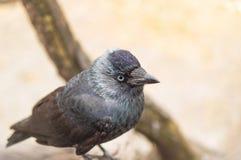 Черная птица галки сидя в дереве Стоковая Фотография