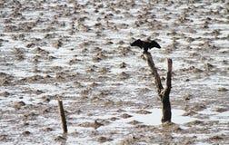 Черная птица на ветвях Стоковые Изображения RF