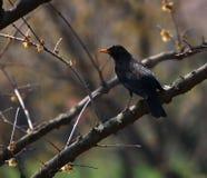 Черная птица при желтый клюв садить на насест на ветви Стоковая Фотография RF