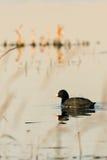 Черная птица простофили на пруде вечера Стоковые Изображения