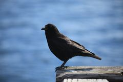 Черная птица стоковое изображение rf