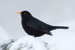 Черная птица стоя на снежной ветви, Вогезы, Франция Стоковое фото RF