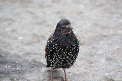 Черная птица с белыми точками стоковая фотография rf