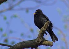 Черная птица Стоковое Фото