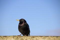 Черная птица Стоковое Изображение