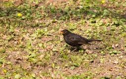 Черная птица Стоковая Фотография