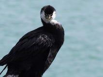 Черная птица Shag, Akaroa, Новая Зеландия Стоковое Изображение