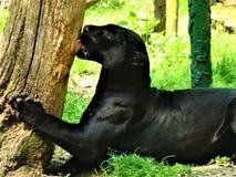 черная пума стоковое фото rf