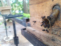 Черная пчела Стоковая Фотография RF