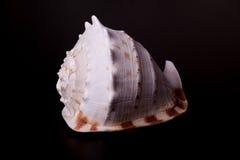 черная раковина моря Стоковые Изображения RF