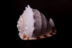 черная раковина моря Стоковое фото RF