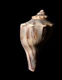 черная раковина моря Стоковая Фотография RF