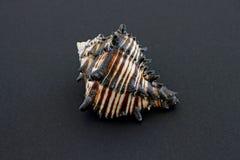 черная раковина murex Стоковое Изображение