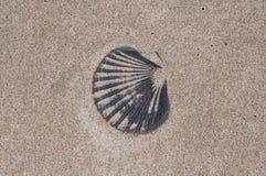 Черная раковина 'Pectinidae' scallop Стоковая Фотография RF
