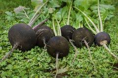 Черная редиска достигает зрелость в октябре Стоковые Изображения