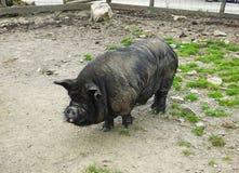 Черная свинья в поле Стоковое Изображение RF
