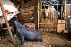 Черная свинья и 3 козы Стоковое Изображение