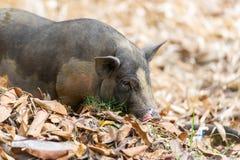 Черная свинья на свободной ферме ряда Стоковое Изображение RF