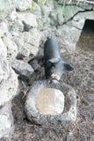Черная свинья на jeju Стоковое Изображение