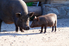 Черная свинья с ее маленькой свиньей ярда села Стоковые Изображения RF