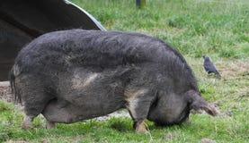 Черная свинья хряка Стоковое Фото