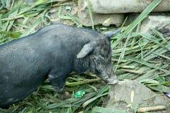 черная свинья Стоковое фото RF