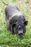 черная свинья стоковые фотографии rf
